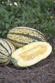 Squash Sugaretti F1 - 2017 AAS Edible-Vegetable Winner