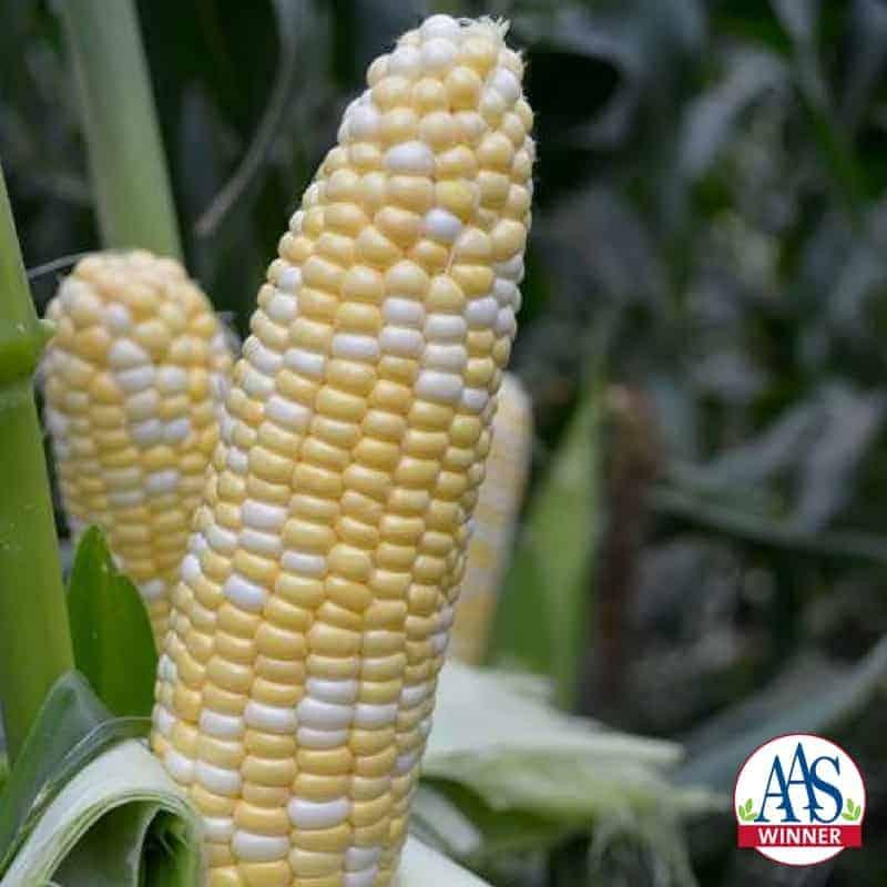 Corn Sweet American Dream - 2018 AAS Edible-Vegetable Winner