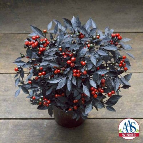 Ornamental Pepper Onyx Red - 2018 AAS Flower Winner