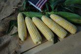 Corn Sweet American Dream 2018 AAS Edible - Vegetable Winner