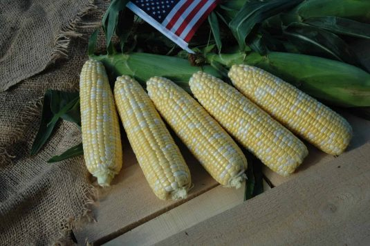 Corn Sweet American Dream 2018 AAS Edible - Vegetable Winner