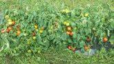 Tomato, cocktail Red Racer F1 - 2018 AAS Edible - Vegetable Winner