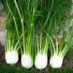 Fennel Antares F1 - AAS Edible - Vegetable Winner What is extremely fun about this winning plant is its many uses: as an edible bulb; for its ornamental fronds; as a seed producer; and as a favorite food of pollinators, namely swallowtail caterpillars.