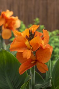 Canna South Pacific Orange - 2018 AAS National Winner