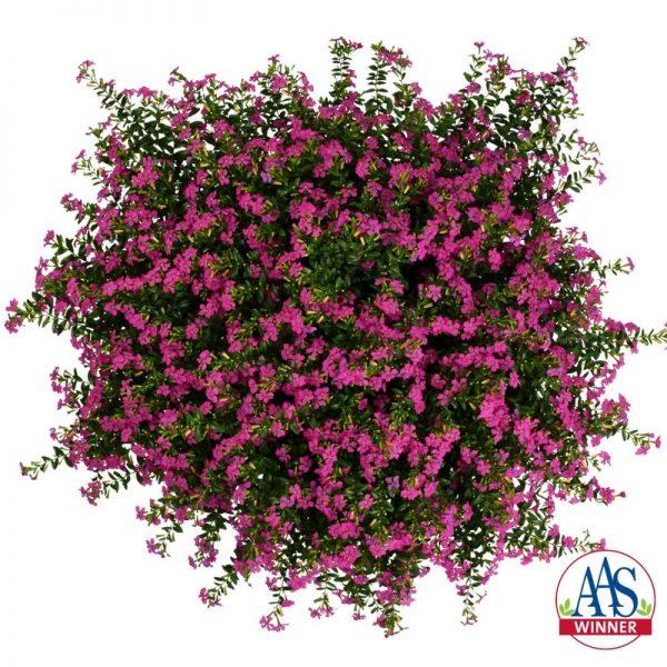 Cuphea FloriGlory Diana - 2018 AAS Flower Winner