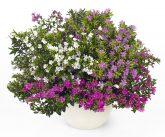 Cuphea FloriGlory Diana - 2018 National Flower AAS Winner