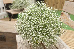 Gypsophila Gypsy White Improved - 2018 AAS Flower Winner