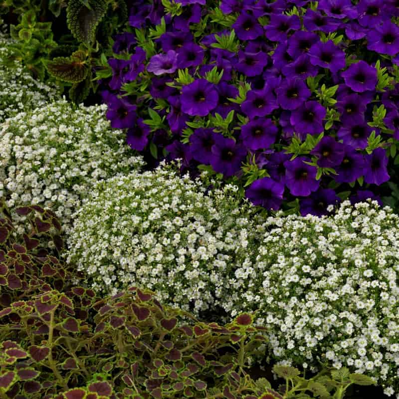 gypsophila gypsy white improved all america selections