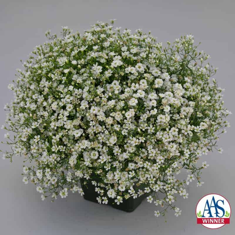 Gypsophila gypsy white improved all america selections gypsophila gypsy white improved 2018 aas flower winner mightylinksfo
