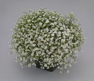 Gypsophila Gypsy White Improved - 2018 AAS Flower Winner