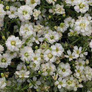 Gypsophila Gypsy White Improved - 2018 AAS Winner