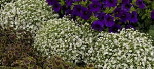 Gypsophila Gypsy White Improved - 2018 AAS Winner