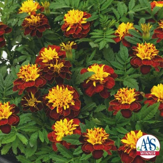 Marigold Super Hero Spry - 2018 AAS Flower Winner