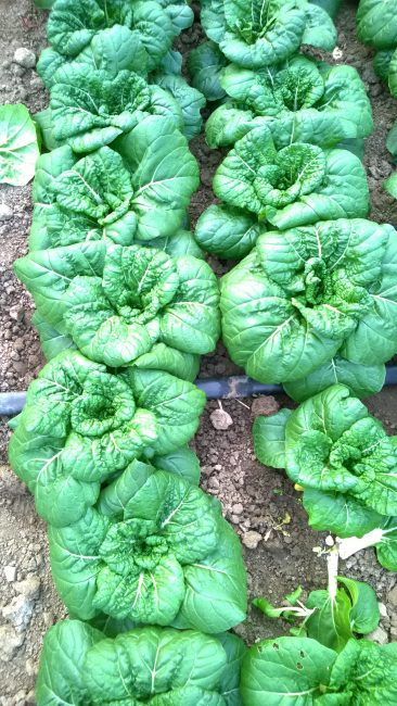 Pak Choi Asian Delight - 2018 AAS Edible - Vegetable Winner