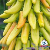 Pepper Hungarian Mexican Sunrise - AAS Edible - Vegetable Winner