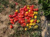 Pepper habanero Roulette - 2018 AAS Edible - Vegetable Winner