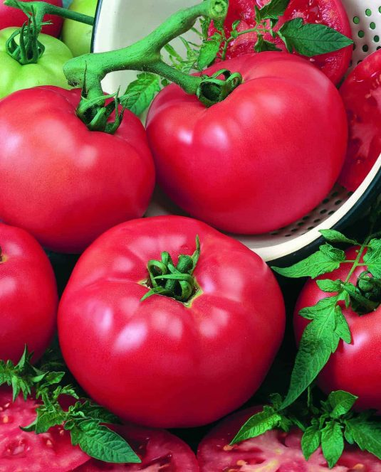 Tomato Chefs Choice Red - 2018 AAS Edible-Vegetable Winner
