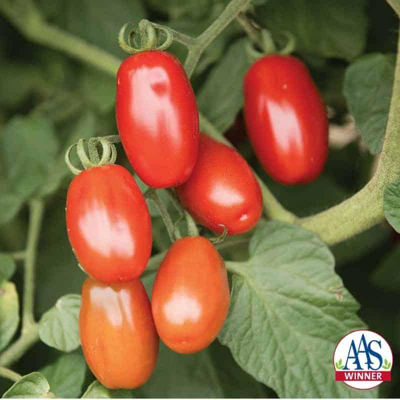 Tomato Valentine - 2018 AAS Edible/Vegetable Winner