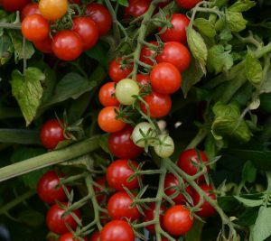 Tomato Candyland Red - AAS Winner - Gardeners will appreciate the dark red, sweet flavored fruit that can be enjoyed throughout the season.