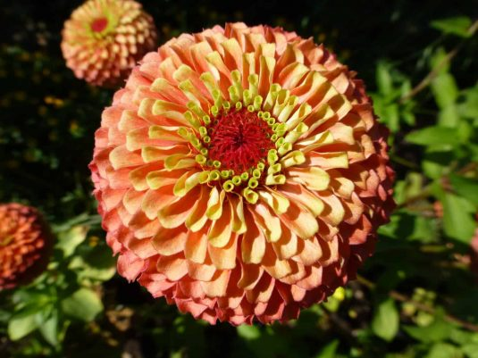 Zinnia Queeny Lime - 2018 AAS Winner