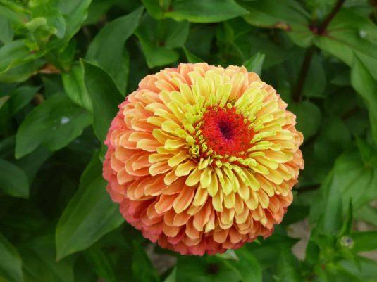 Zinnia Queeny Lime Orange - 2018 AAS Flower Winner