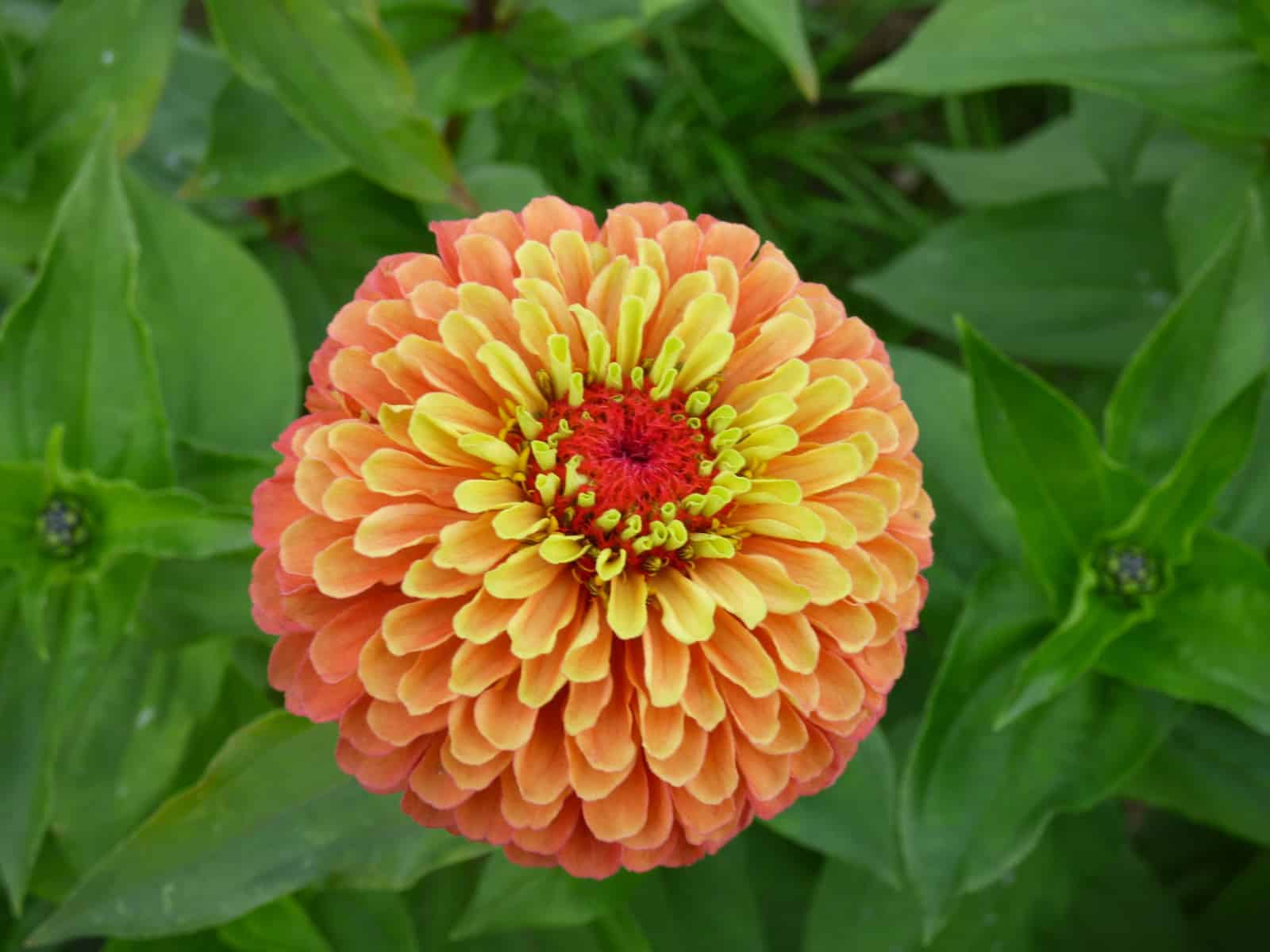Zinnia queeny lime orange all america selections zinnia queeny lime orange 2018 aas flower winner izmirmasajfo