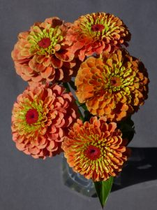 Zinnia Queeny Lime Orange - 2018 AAS Flower Winner