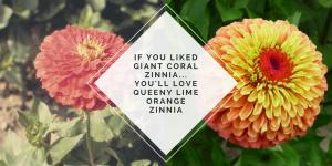 You will LOVE Queeny Lime Orange Zinnia - AAS Winner