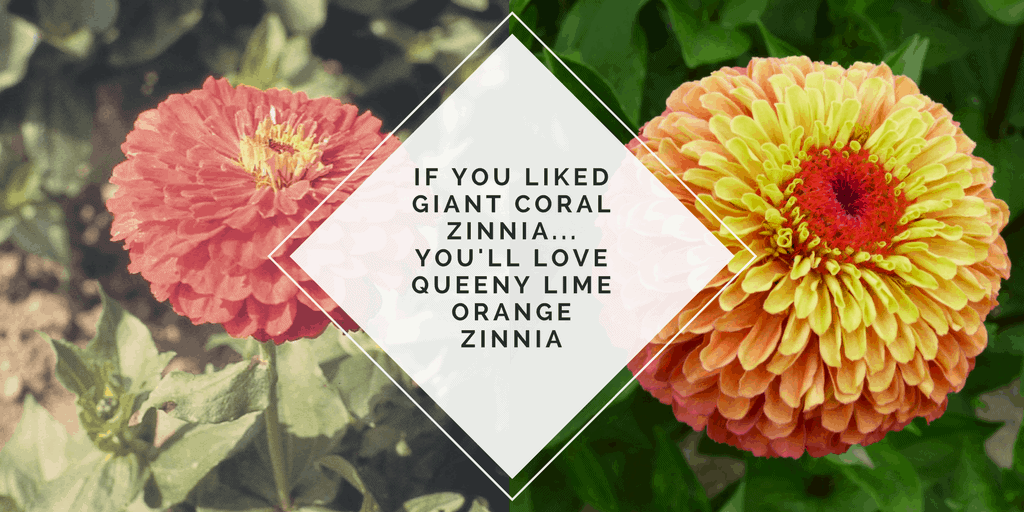 You will LOVE Queeny Lime Orange Zinnia - AAS Winner
