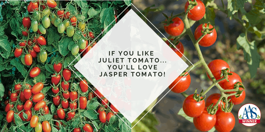 You'll love AAS Winner Jasper Tomato
