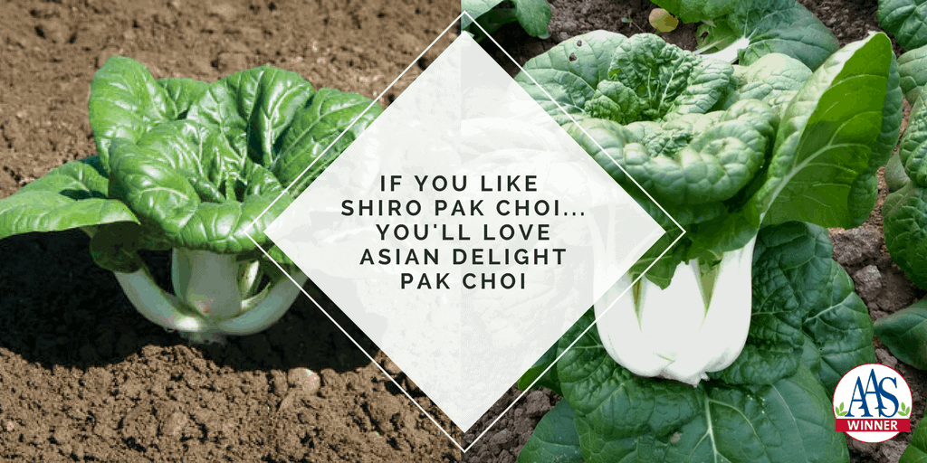 You'll Love 2018 AAS Winner Asian Delight Pak Choi