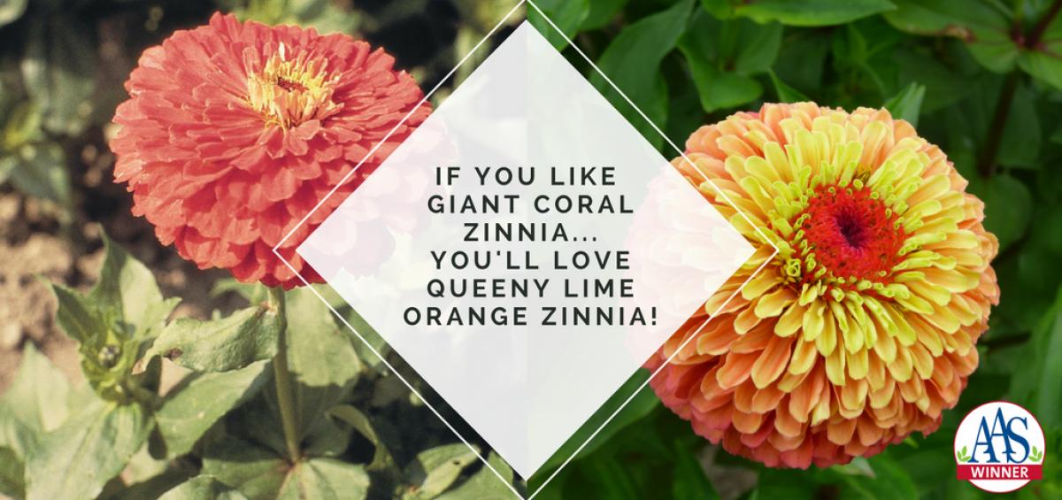 You will love AAS Winner Queeny Lime Orange Zinnia - 2018 AAS Winner