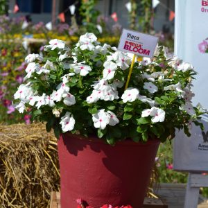 Vinca Mega Bloom Polka Dot - 2019 AAS Flower Winner