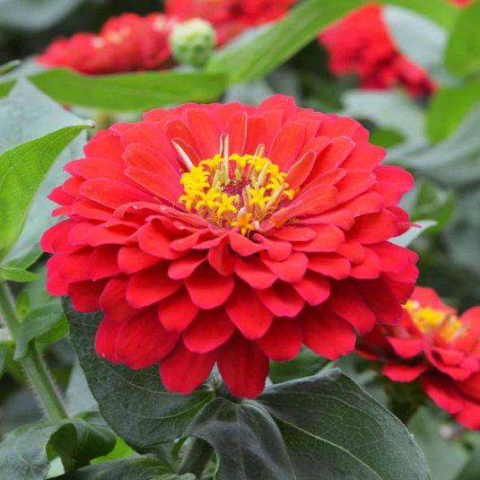 Zinnia Holi Scarlet - 2019 AAS Flower Winner