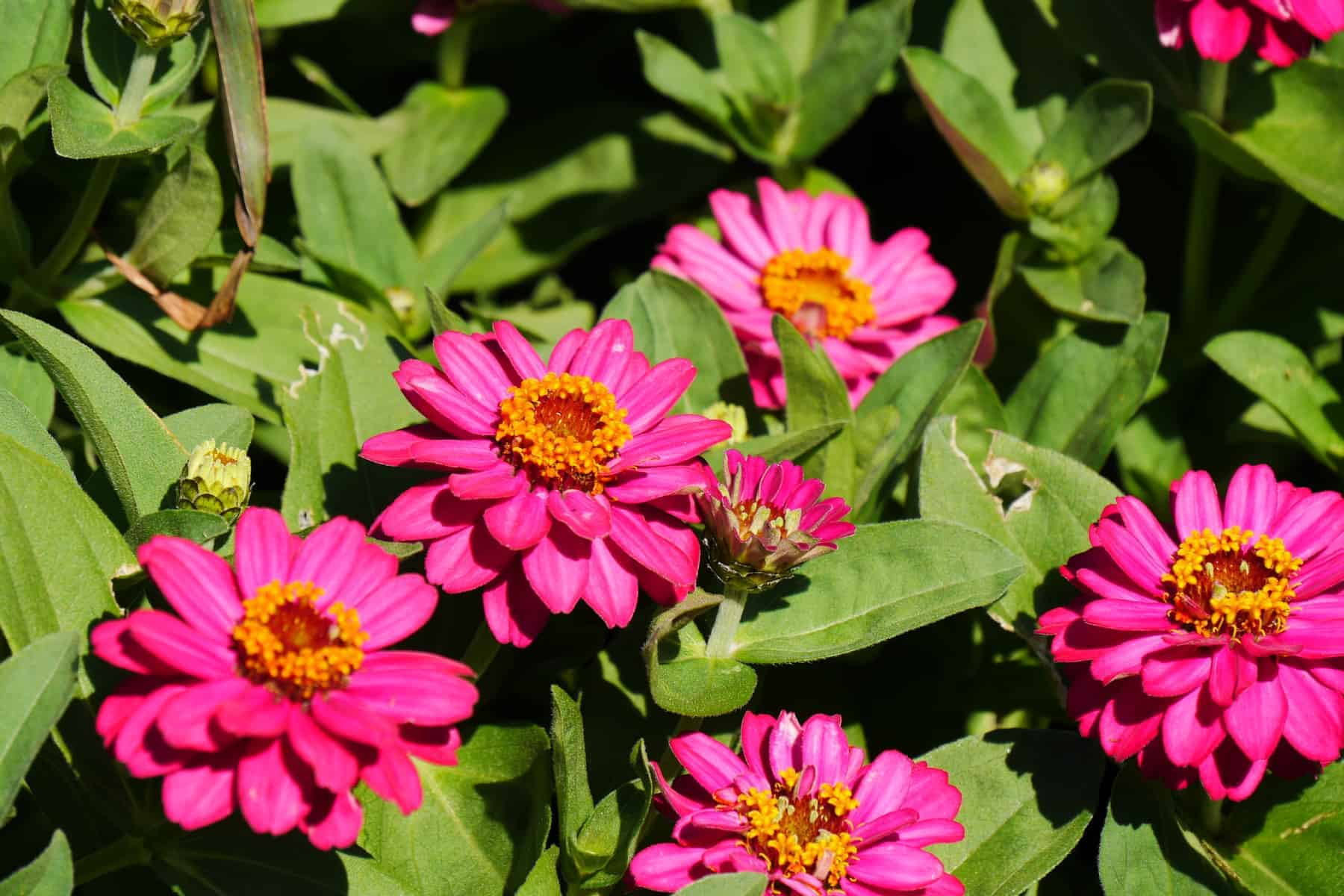 Profusion Zinnia at Humber Arboretum, Toronto - AAS Display Garden