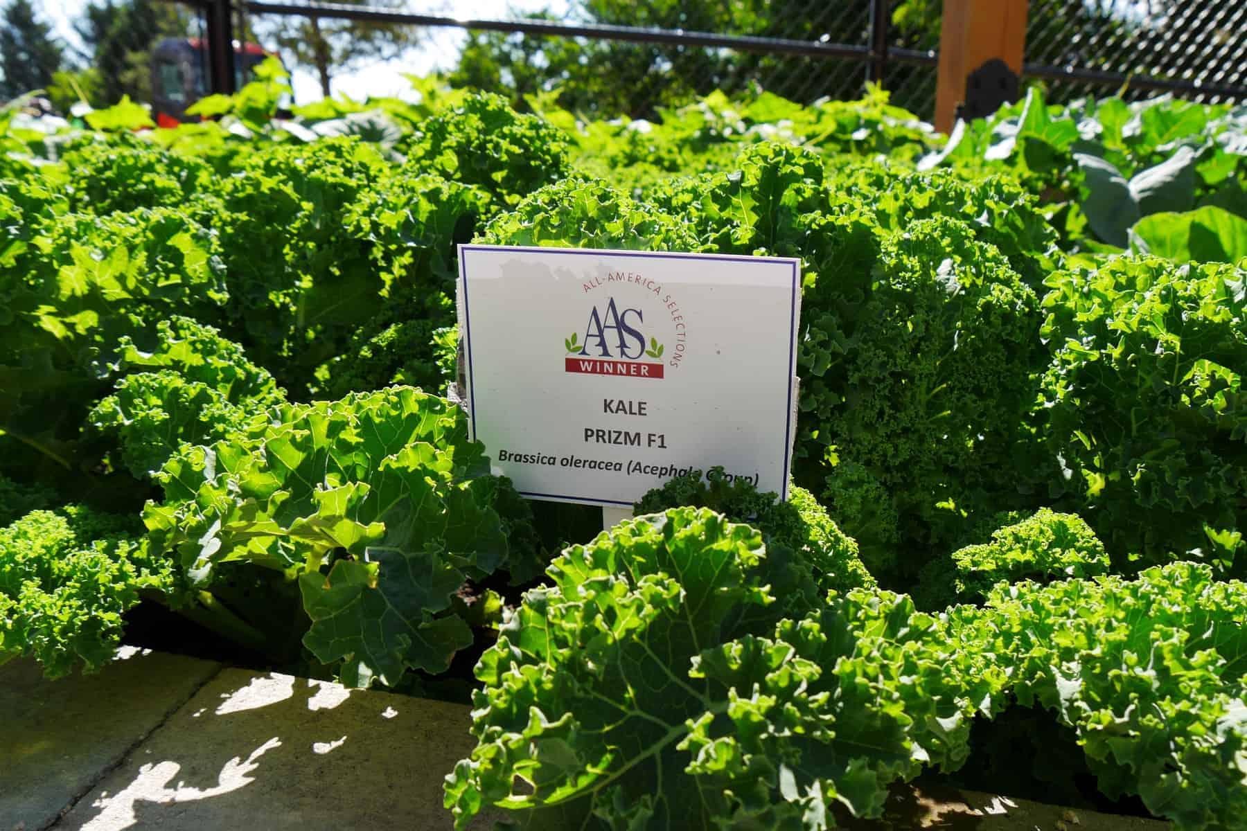 Kale Prizm at Humber Arboretum, Toronto - AAS Display Garden