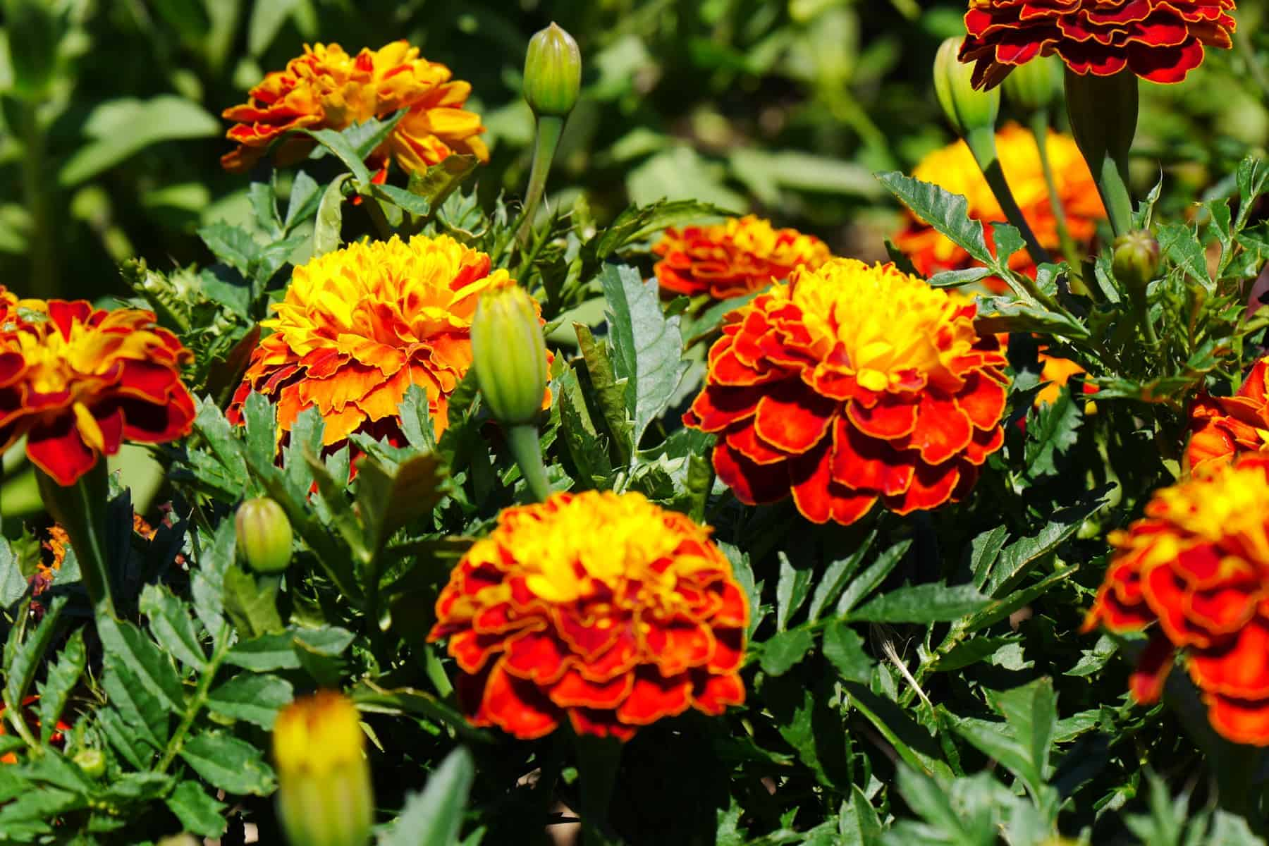 Marigold Super Hero Spry at Humber Arboretum, Toronto - AAS Display Garden