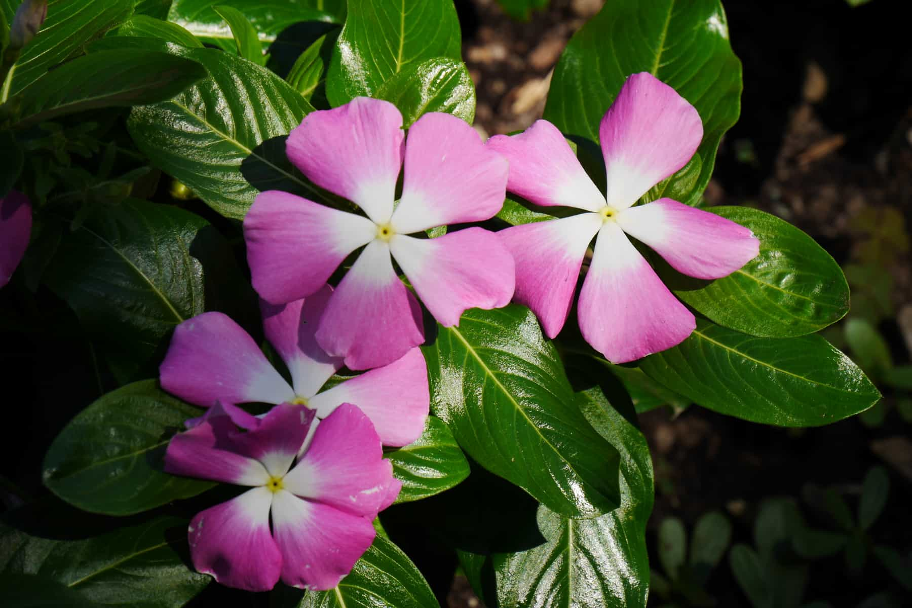 Vinca Mega Bloom Pink Halo at Humber Arboretum Toronto - AAS Display Garden