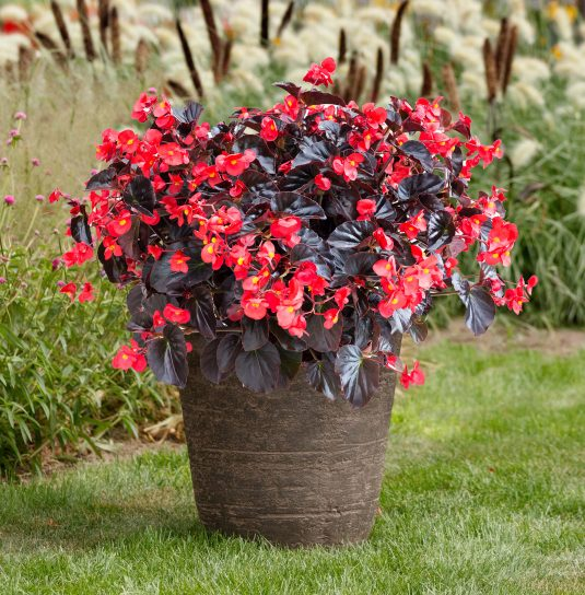 Begonia Viking XL Red on Chocolate - 2019 AAS Flower Winner