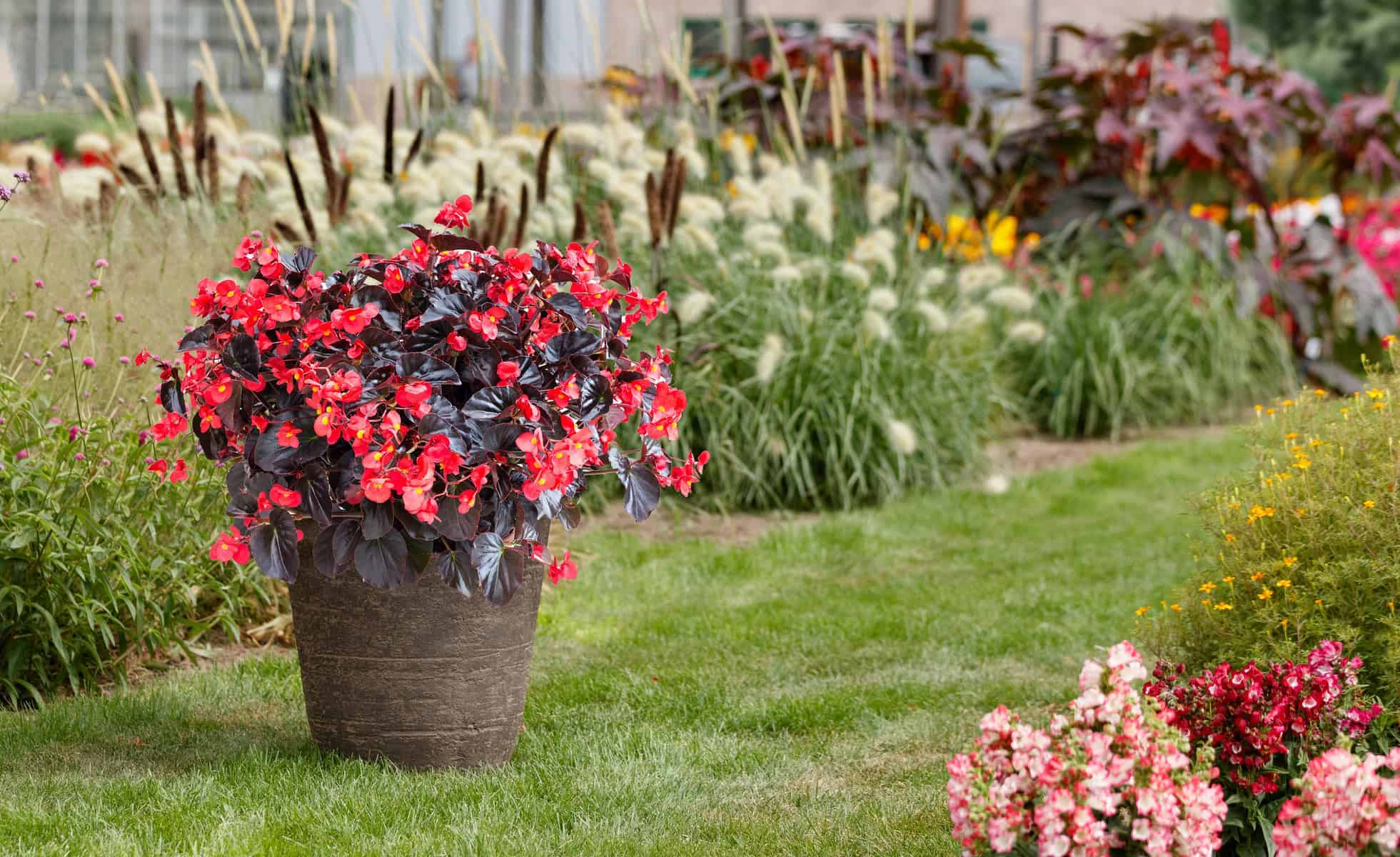 Begonia Viking Xl Red On Chocolate F1 All America Selections