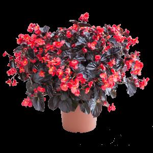 Begonia Viking XL Red on Chocolate - 2019 AAS Flower Winner