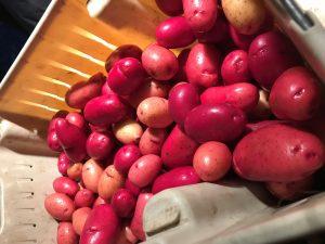 Potato Clancy - 2019 AAS Edible/Vegetable Winner