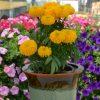 Marigold Big Duck Gold _ AAS Flower Winner