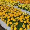Marigold Big Duck Gold _ AAS Flower Winner