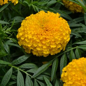 Big Duck Gold Marigold - AAS Flower Winner