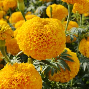 Marigold Garuda Deep Gold - 2019 AAS Flower Winner