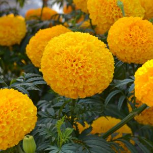 Marigold Garuda Deep Gold - 2019 AAS Flower Winner