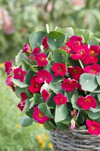 Nasturtium Baby Rose - AAS Flower Winner