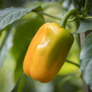 Pepper Just Sweet - 2019 AAS Edible-Vegetable Winner