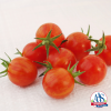Tomato Sparky XSL - 2019 AAS Edible/Vegetable Winner - Very sweet fruits have an average Brix score of 8.5.